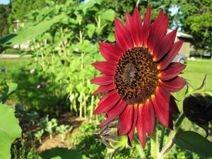 Burgundy Sunflower